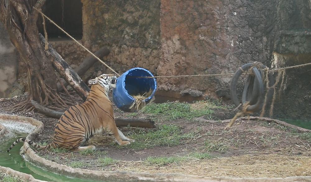 Tiger pulling a barrel toy, Thailand