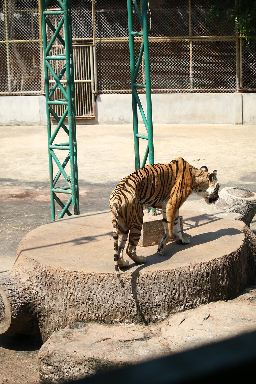 Sriracha tiger zoo, thailand, thing tiger