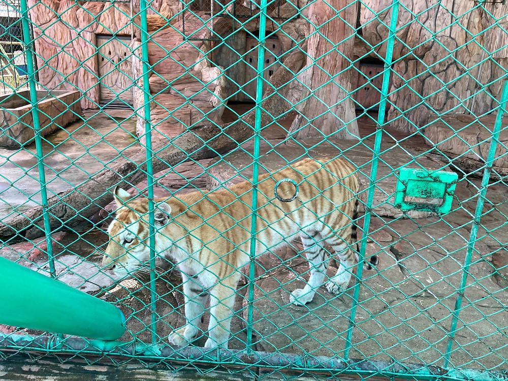 Golden tiger Thailand