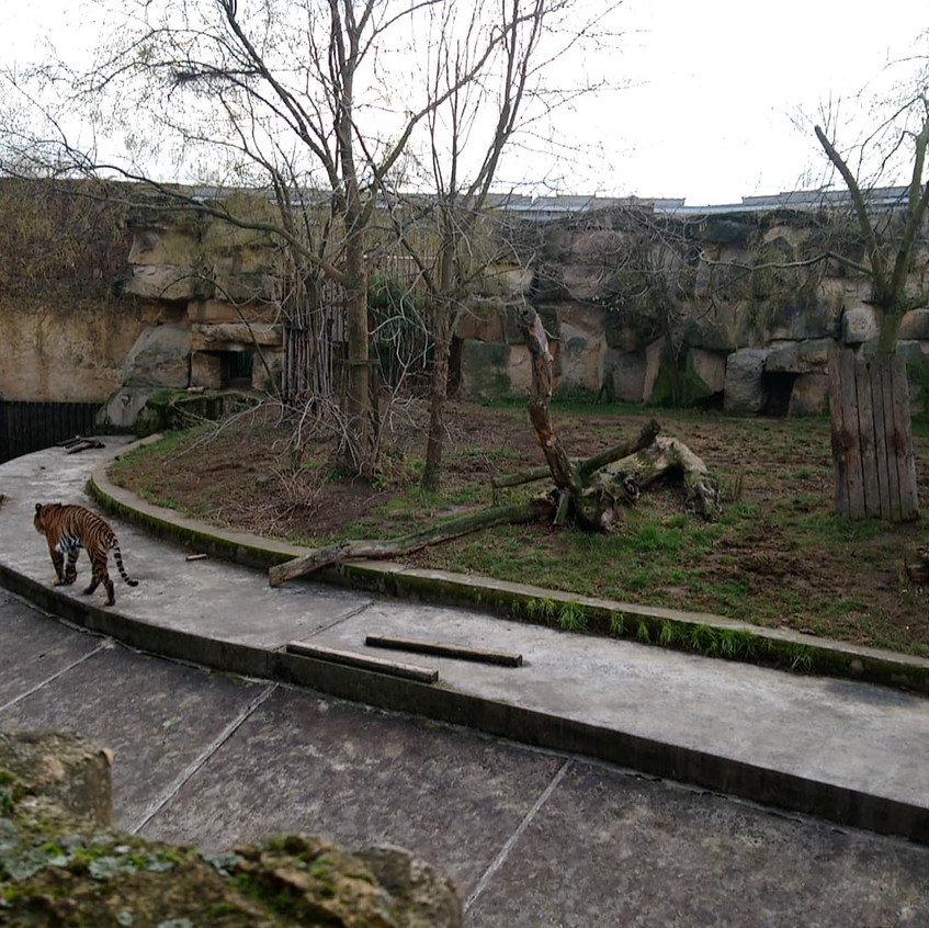 Pacing Sumatran tiger, Prague Zoo