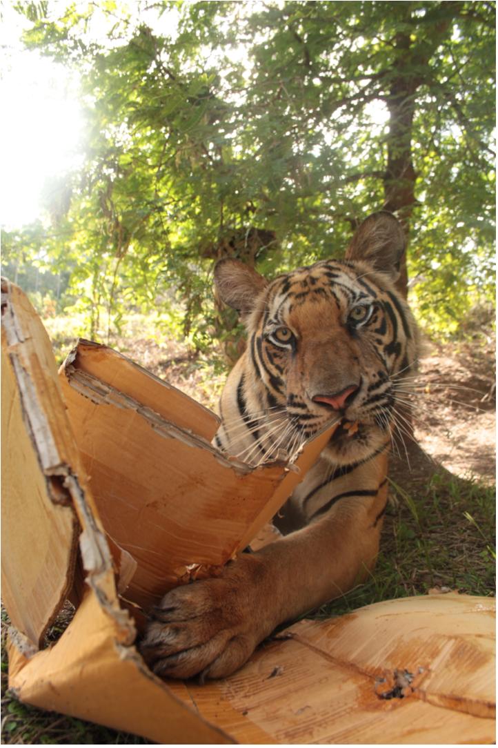 Tiger with cardboard box, Thailand
