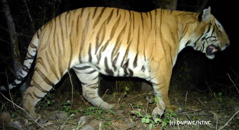 Nepal Chitwan Tiger