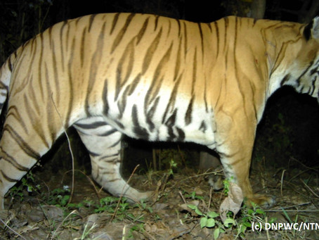 HELP US GIVE WILD-CAUGHT CHITWAN TIGER A NEW HOME