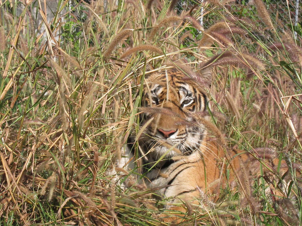 Tiger hiding in the grass, Thailand