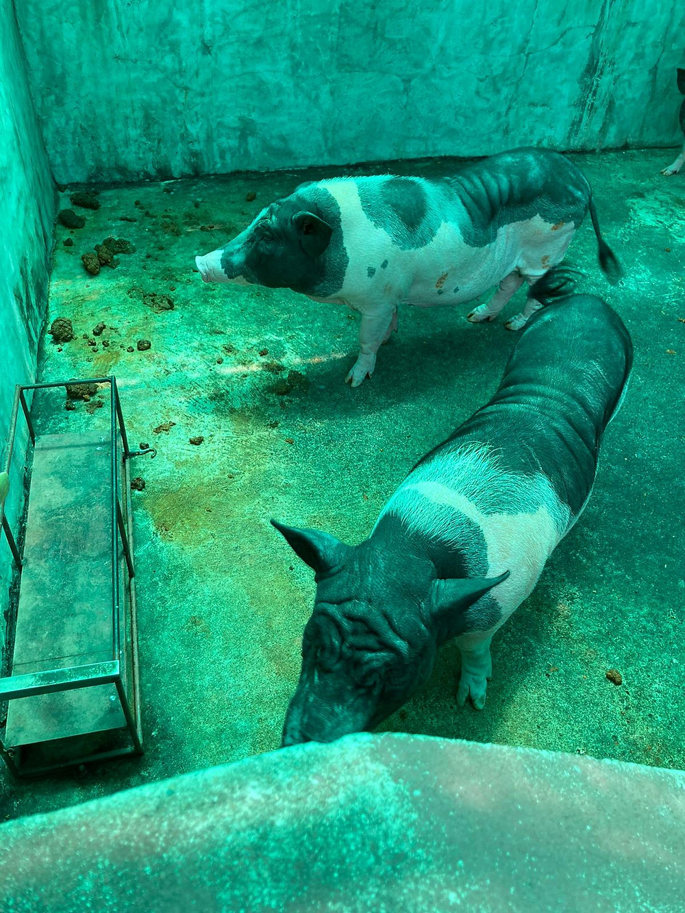Starving pigs