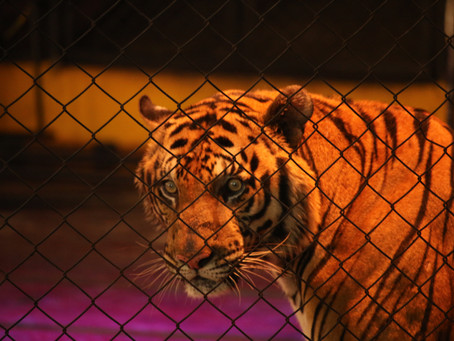 REPORT - STALKING THAILAND'S TOURIST TIGERS