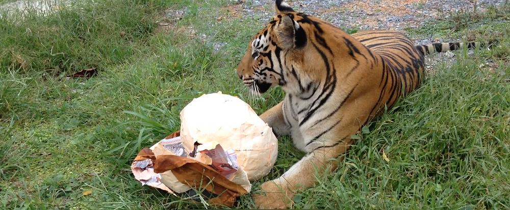 Tiger and papier-mache toy, Thailand