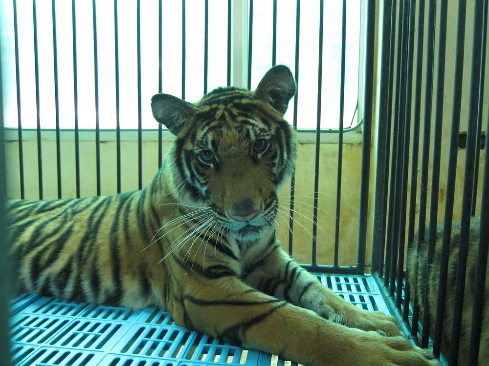 Tiger cub at Sriracha Tiger Zoo, Thailand