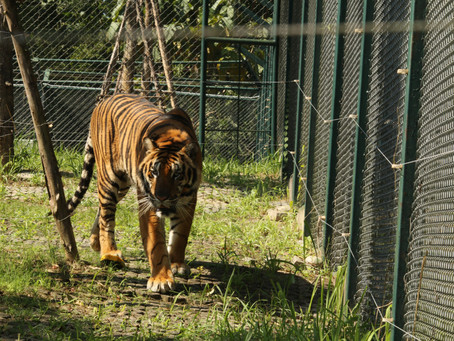 TIGER KINGDOM STARTS TO MOVE AWAY FROM TIGER SELFIES