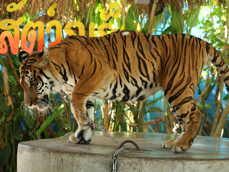 PHUKET ZOO SUSPENDS TIGER PHOTOS ... FOR NOW