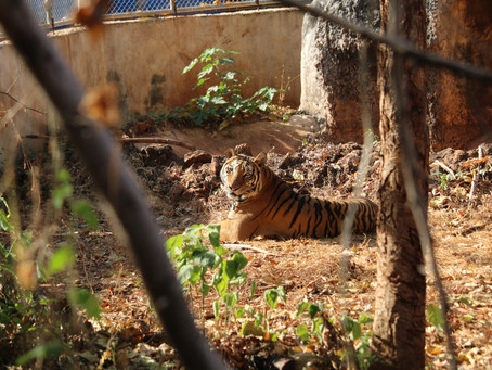TWO YEARS ON: WHERE ARE THE TIGER TEMPLE TIGERS NOW?