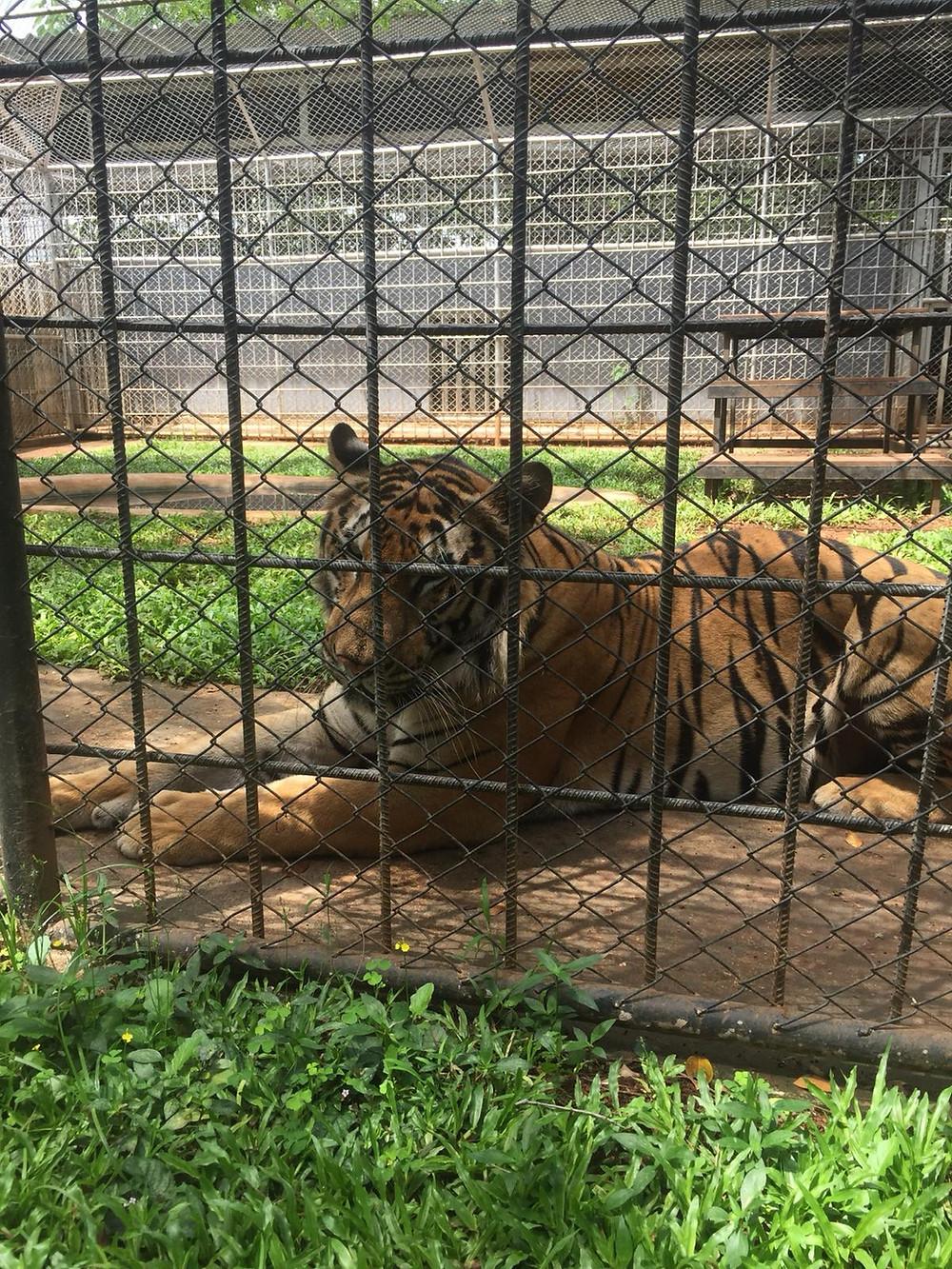 Farm Chokchai tiger in Thailand