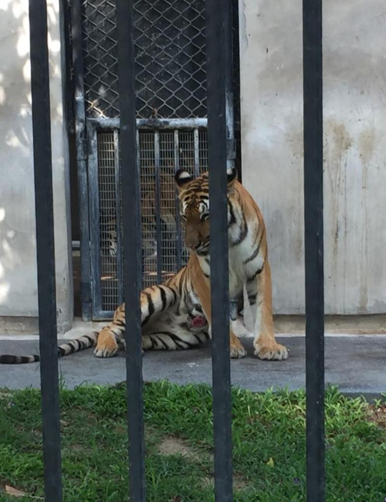 Tiger with wound, Hua Hin Safari, Thailand