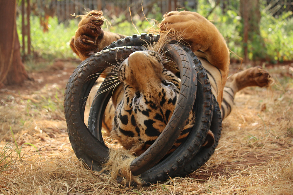 Tiger with small tyre toy, Thailand
