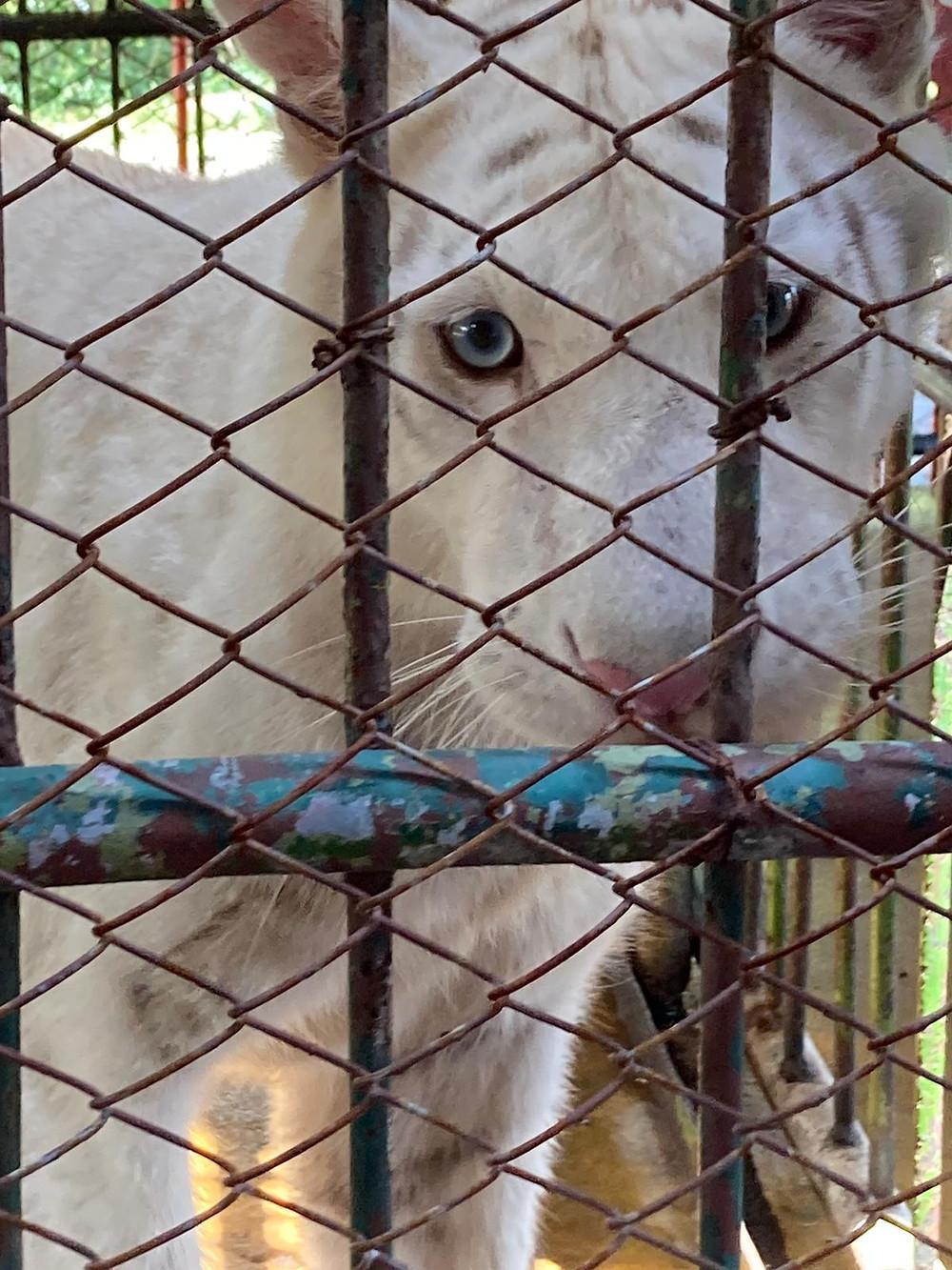 Snow tiger Samutprakarn, Thailand