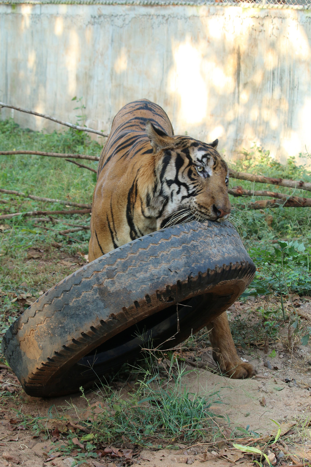 Tiger moving large tyre