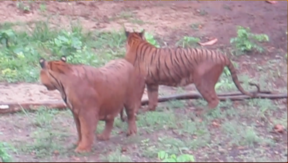 Muddy tigers, Thailand