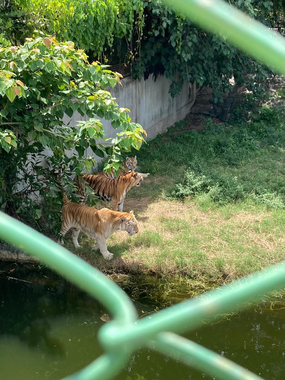 Tiger enclosure Samutprakarn Thailand