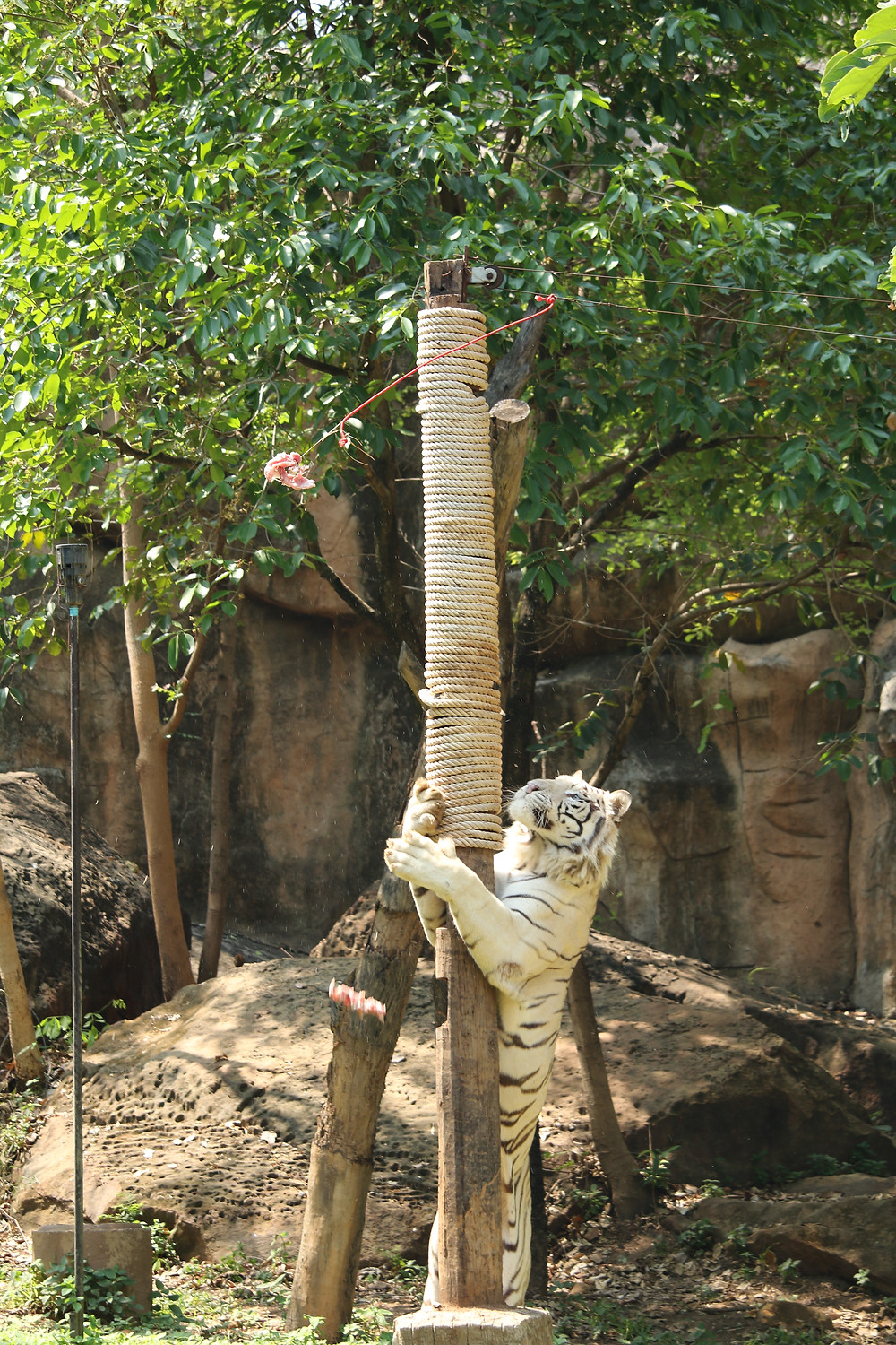 Tiger uses feeding pole
