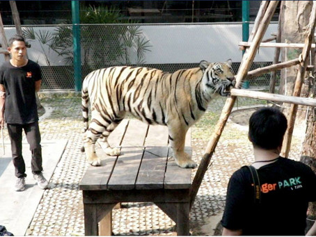 One Tiger Facility Closes, but Another One Opens