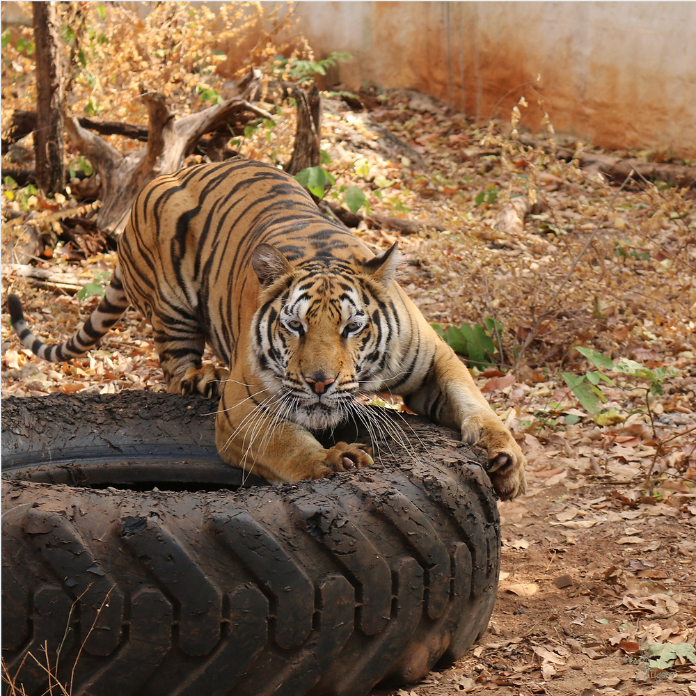 tiger scratching a tyre, Thailand