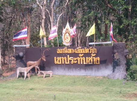 Report on the Relocated Temple Tigers