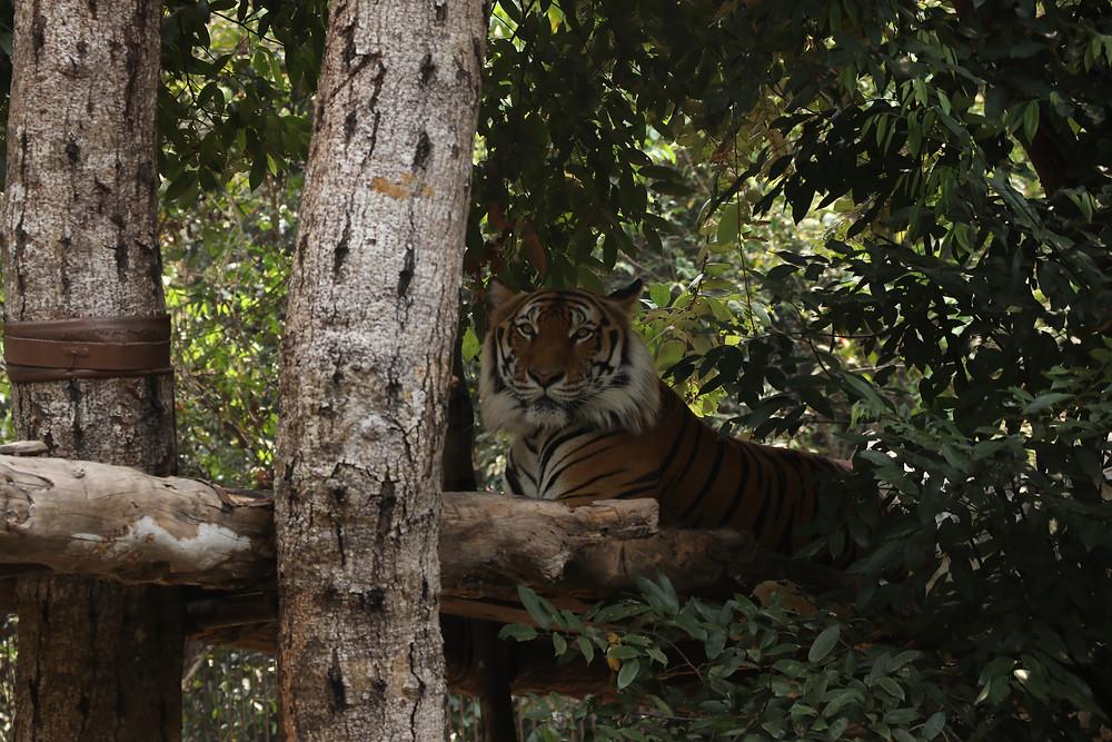 Tiger on platform