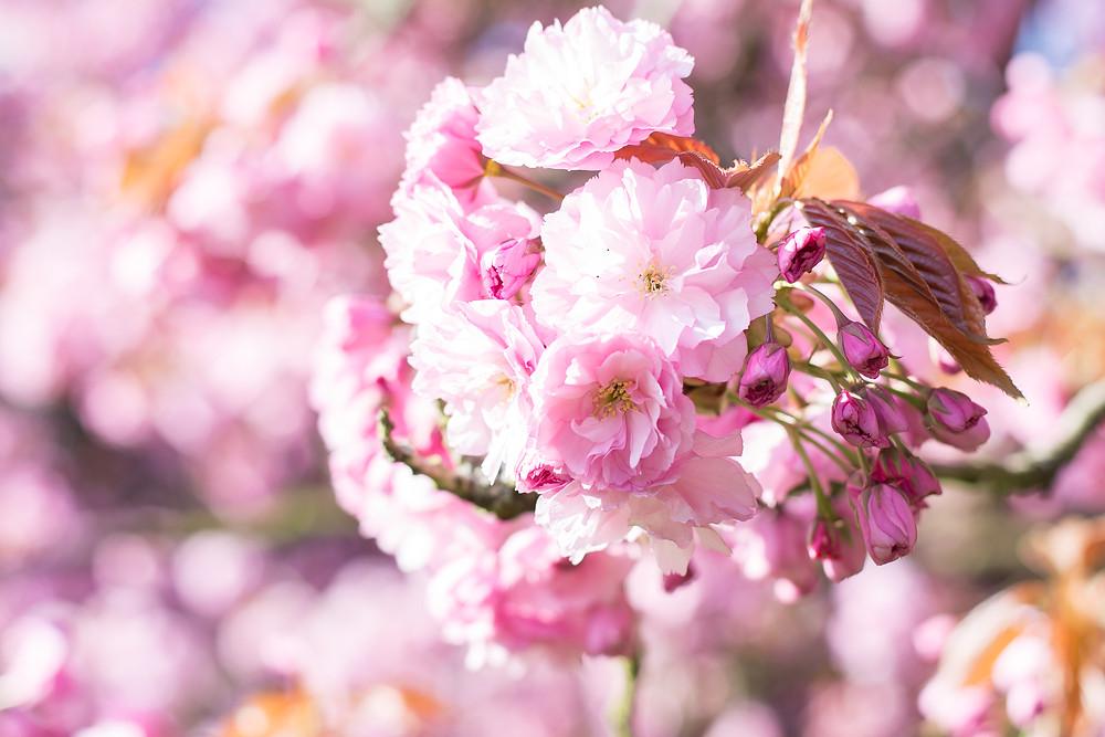 anne bied - parc de sceaux - cerisier sakura