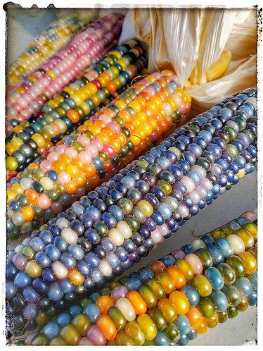 1/4 Pound Glass Gem Corn Seeds