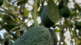 Casvel Hass & Fruits - Avocado - Colombia
