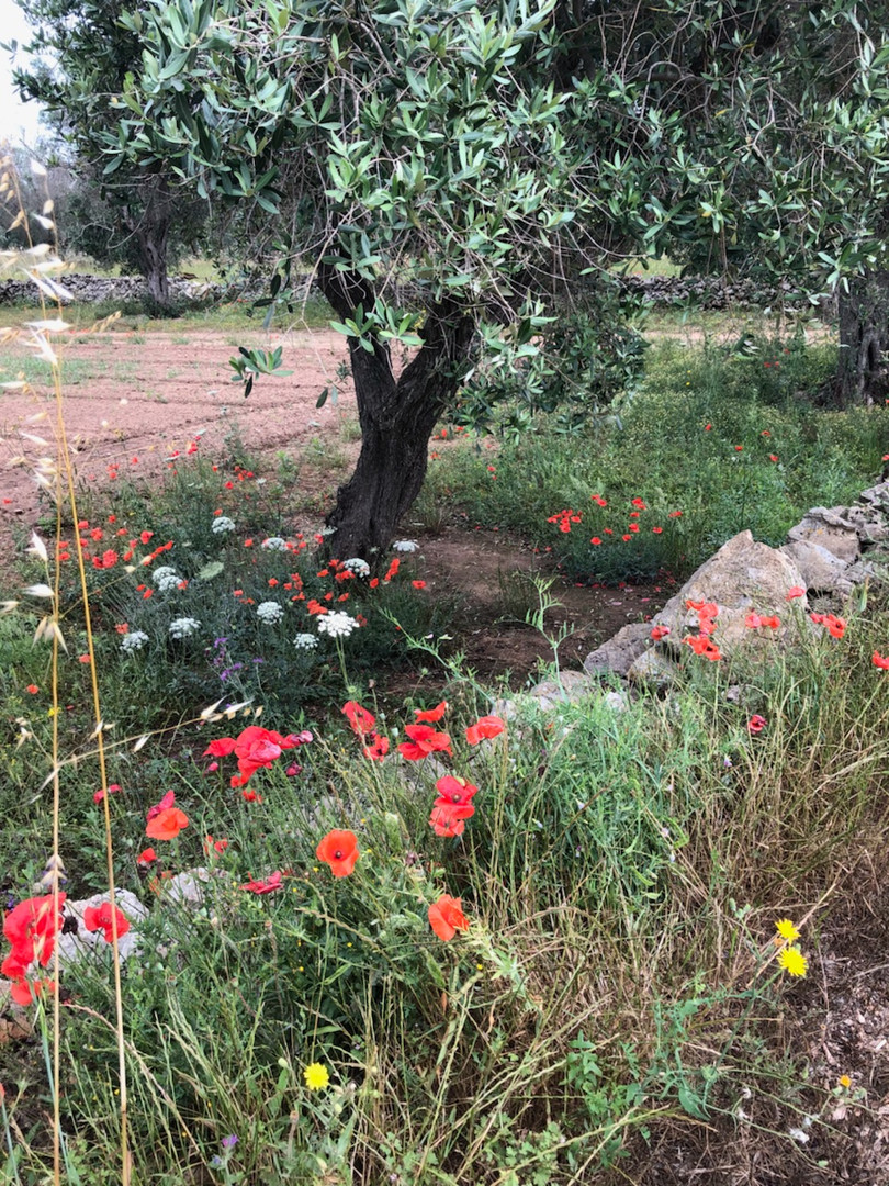 beautiful olive tree with poppies red soil stone wall.jpeg