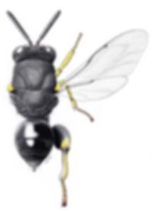 キアシブトコバチ Brachymeria lasus