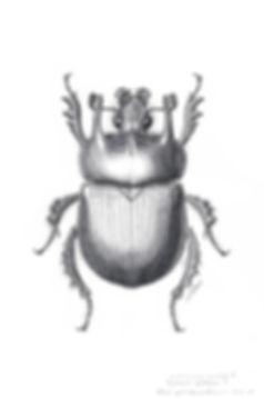 ミノタウロスセンチコガネTyphaeus typhoeusの♂