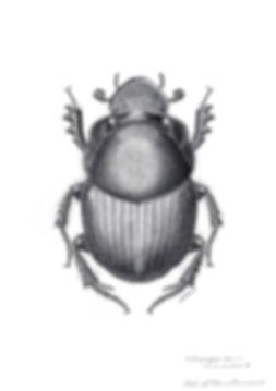 ウシエンマコガネOnthophagus taurusの♂