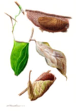 ミノガの繭