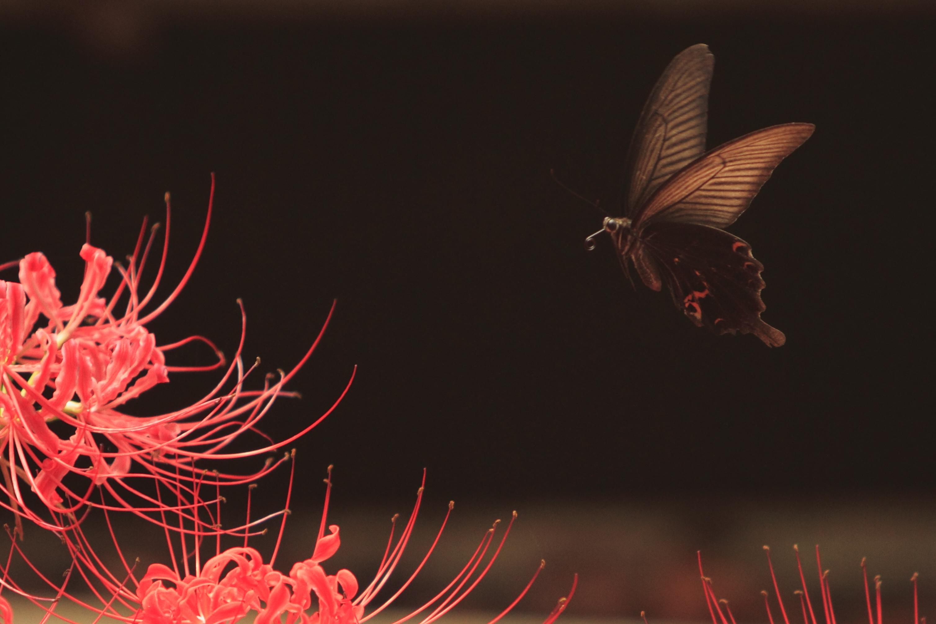 彼岸花の蝶