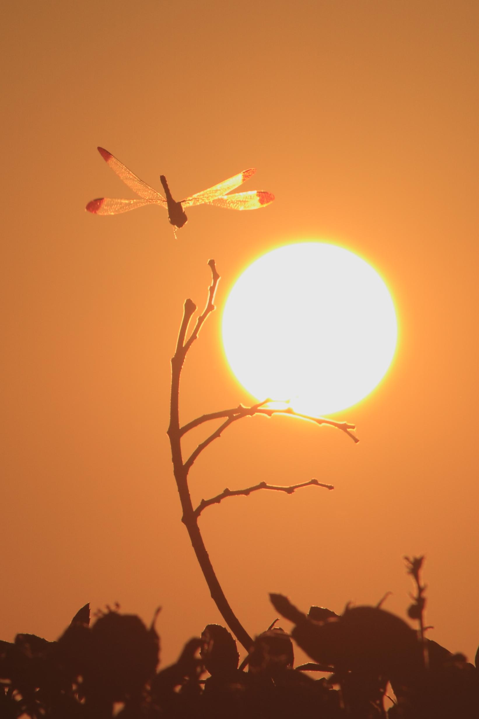夕日と赤とんぼ