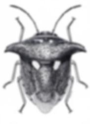 ウシカメムシ Alcimocoris japonensis
