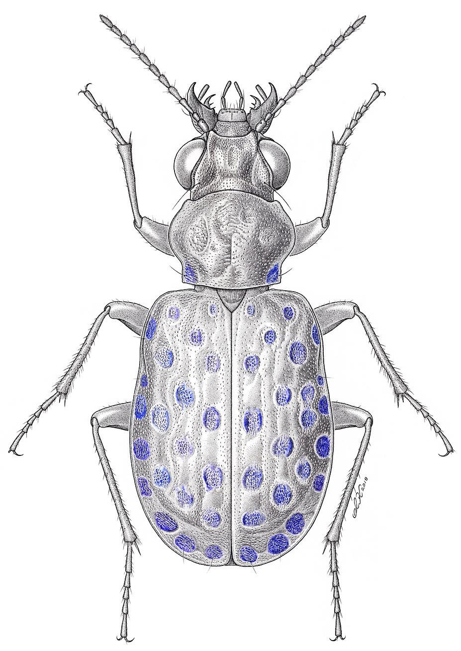 オオハンミョウモドキ Elaphrus japonicus