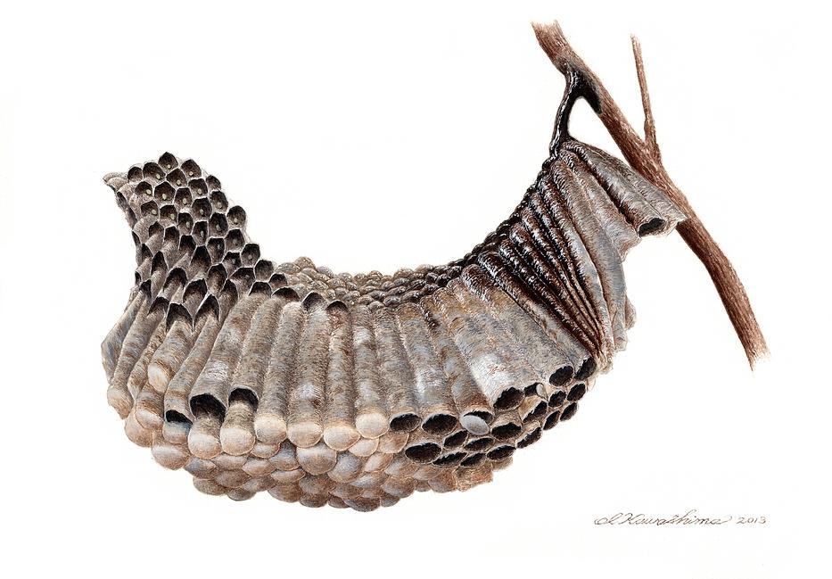 コアシナガバチの巣