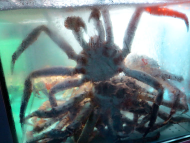 giant crab, fish market, Bergen, 2015
