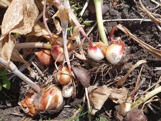 Gratis tulpenbollen uitgraven op de pluktuin tijdens Amstellanddag