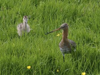 Veel weidevogels in het Amstelland