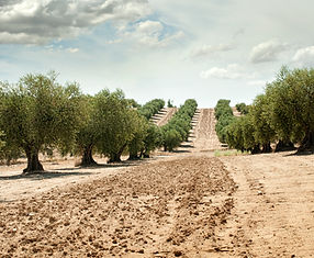 olive-trees-PF76RT9.jpg