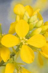 Mustard – Acker - Senf
