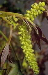Walnut – Walnussbaum