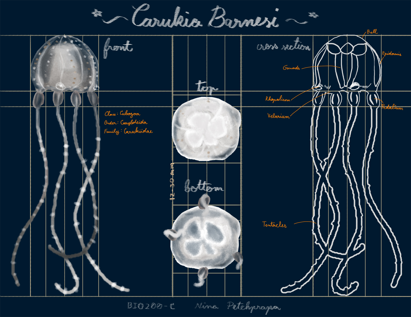 Diagram - Carukia Barnesi