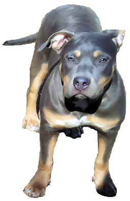 MVP Kennels - Fully Registered Blue Nose American Bully Pit