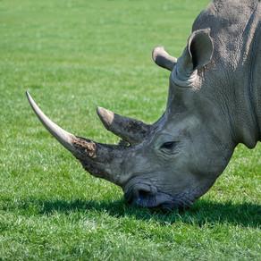 A Rhinoceros Called Barry