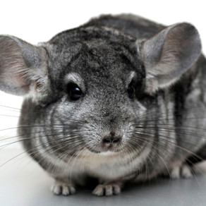 Priscilla The Chinchilla Bridezilla